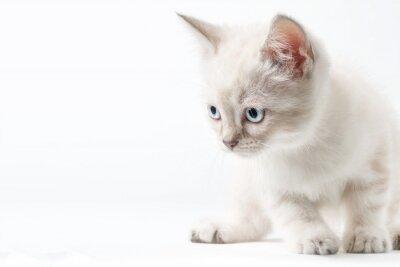 Fototapeta Gattino bianco isolato su sfondo bianco