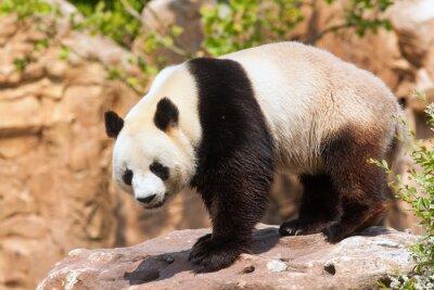 Fototapeta Géant Panda