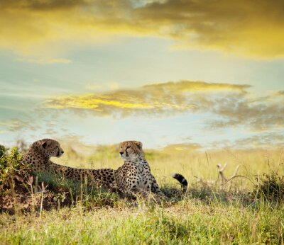 Fototapeta gepard