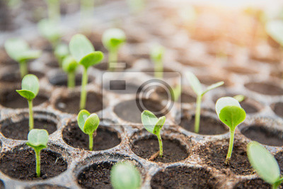 Fototapeta germinating seed to sprout of nut in agriculture and plant grow  with sunlight