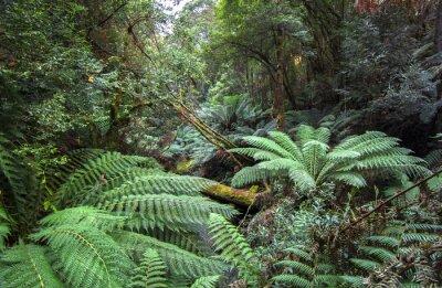 Fototapeta Gęsta roślinność, w tym duże paprocie, wypełnia lasy deszczowe Mt. Field National Park, Tasmania.