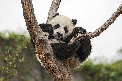 Fototapeta Giant Baby Panda na drzewie wiszące