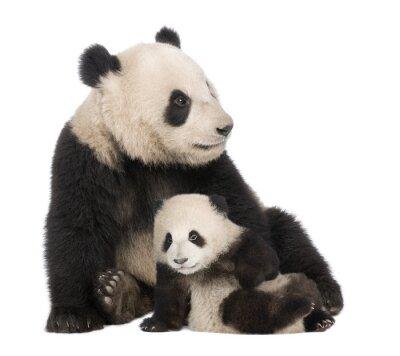 Fototapeta Giant Panda ( 18 miesięcy ) - Ailuropoda melanoleuca