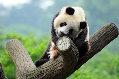 Fototapeta Giant Panda Bear w drzewo