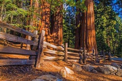 Fototapeta Giant Sequoias Place