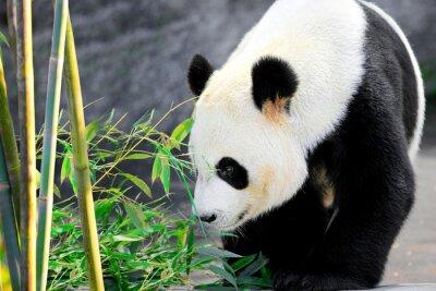 Fototapeta Gigantyczny niedźwiedź panda i jej ulubione jedzenie bambusa