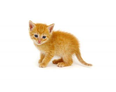 Ginger cat sitting on white