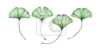 Ginko leaves isolated on white. Watercolor hand drawn illustration.