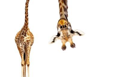 Fototapeta Giraffe with long head look upside down on white