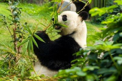 Fototapeta Głodny panda bear jedzenie bambusa