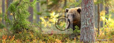 Fototapeta Głowa niedźwiedzia brunatnego w lesie