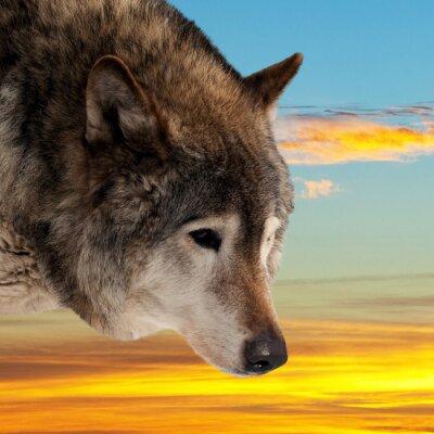 Fototapeta Głowa wilka przed zachodem słońca