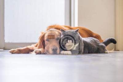 Fototapeta Golden retriever i brytyjski kot z krótkimi włosami