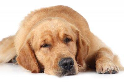 Fototapeta Golden Retriever pies spać na podłodze