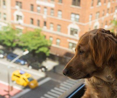 Fototapeta Golden Retriever Watches City Street Below Window, Taxi