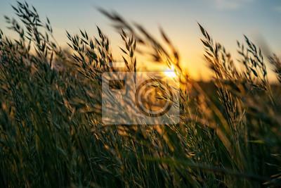 Fototapeta golden Wild wheat on the field at sunset sunrise
