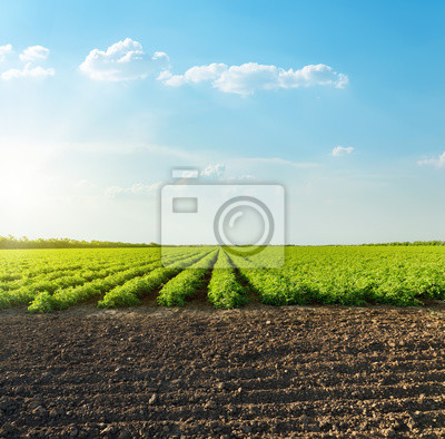 Fototapeta good sunset with clouds over agricultural green field with tomatoes