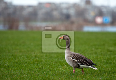 Goose szuka pożywienia w zimie