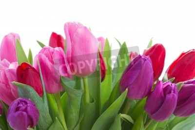 Fototapeta granicy czerwony, różowe i fioletowe kwiaty tulipanów bliska, samodzielnie na białym tle