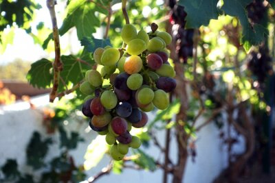 grapes at a vineyard. fresh organic bunch of green and red grapes