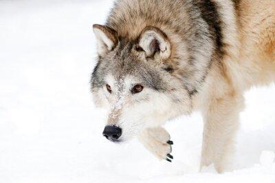 Fototapeta Grasuje wilk