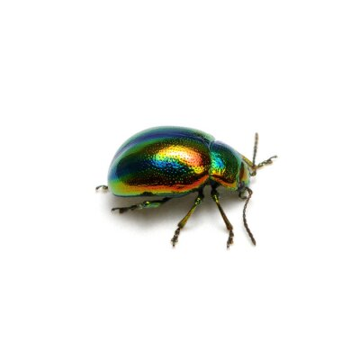 Green beetle isolated on white