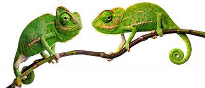 Fototapeta green chameleon - Chamaeleo calyptratus