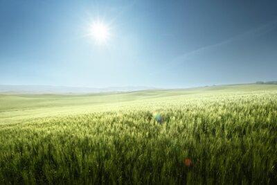 Fototapeta Green field of wheat in Tuscany, Italy