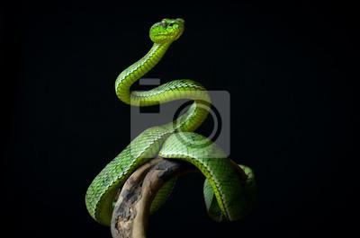 Fototapeta Green insularis pit viper