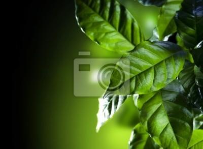 Green Leaves. Kawa Arabica roślin samodzielnie na czarny