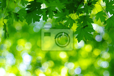 Green leaves on the spring tree