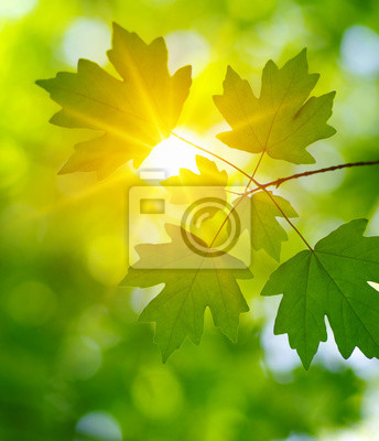 Green leaves on the sun.
