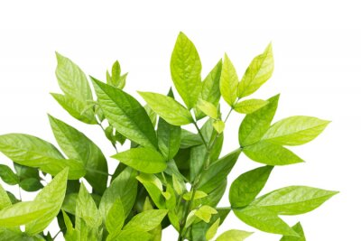 Fototapeta Green leaves on white