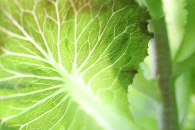 Fototapeta Green lust lettuce nerve close up