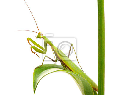 Green mantis on a plant