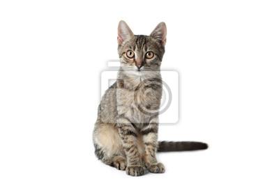 Fototapeta Grey tabby cat on white background. Adorable pet
