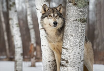 Fototapeta Grey Wolf (Canis lupus) Between Trees Looks Up and to Right Winter