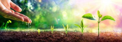 Fototapeta  Growing Concept - Hand Watering Young Plants With Flare effect