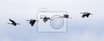 Fototapeta Grullas volando en Línea en el cielo azul