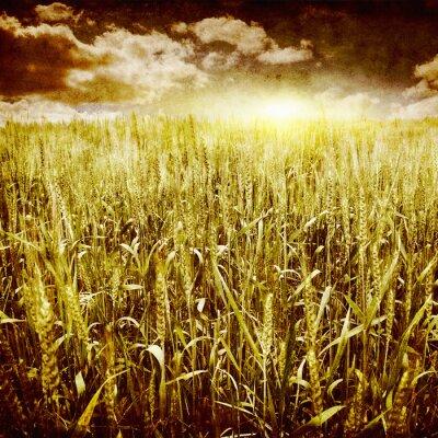 Fototapeta Grunge obraz polu pszenicy.