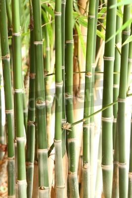 Fototapeta Grupa bambusowe drzewa w lesie