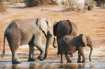 Fototapeta Grupa dużych i małych słonie afrykańskie