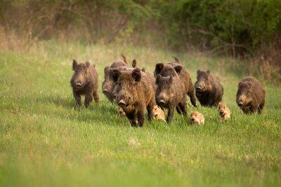 Fototapeta Grupa dzików, sus scrofa, biegnących na wiosnę. Sceneria dzikiej przyrody z rodziną z małymi prosiętami poruszającymi się szybko do przodu, aby uciec od niebezpieczeństwa.