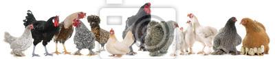 Fototapeta grupa kurczaka