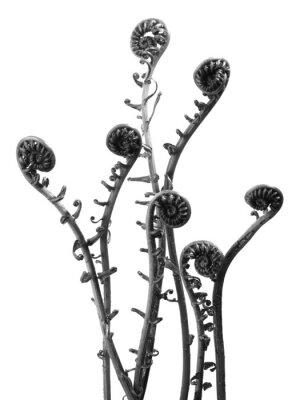 Fototapeta Grupa paproci nakręcony w czerni i bieli.