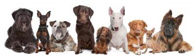 Fototapeta Grupa psów