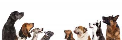 Fototapeta grupa psów szuka się