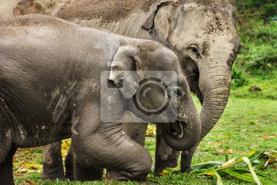 Fototapeta Grupa słoni w Tajlandii dżungli