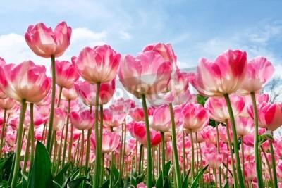 Fototapeta Grupa tulipanów purpurowe przeciwko nieba Wiosna krajobrazu