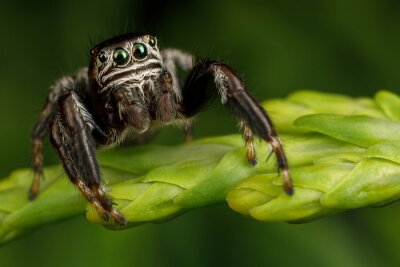Fototapeta Hairy, black jumping spider sits on a thuja twig